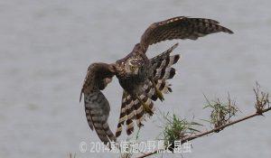 勅使池のオオタカ170706-1-1