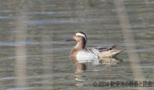 勅使池のシマアジ170402