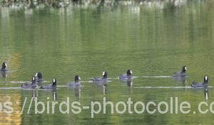 勅使池のオオバン181103