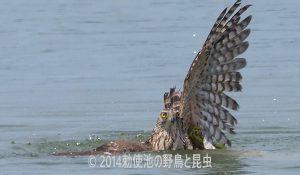 勅使池のオオタカ170708-4