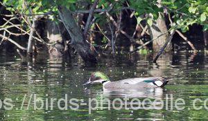 勅使池のヨシガモ180510