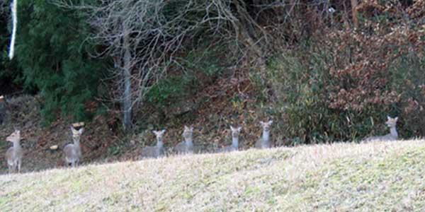 岡崎市の鹿