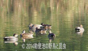 勅使池のオカヨシガモ171103
