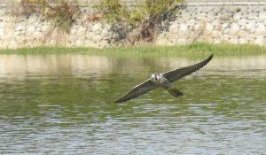 勅使池,野鳥,ハヤブサ161030-1