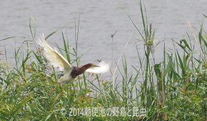 勅使池のアカガシラサギ170726