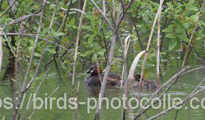 勅使池のカイツブリ180509