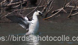 勅使池のミコアイサ200318