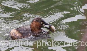 勅使池のカイツブリ200128