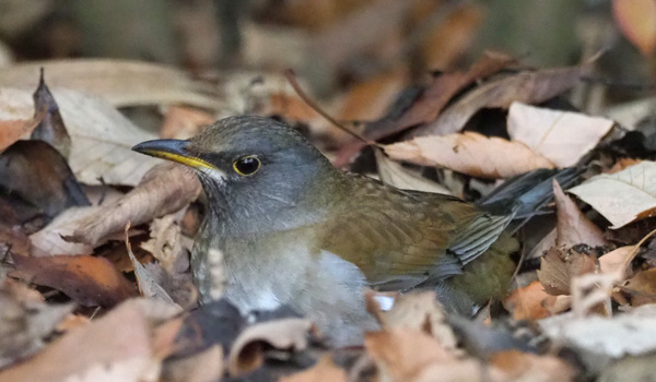 勅使池の野鳥シロハラ170211