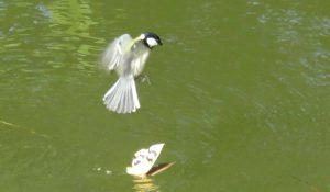 勅使池のシジュウカラ161111