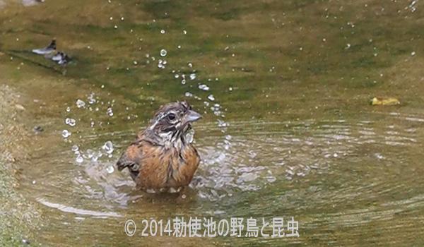 勅使池のホオジロ170802