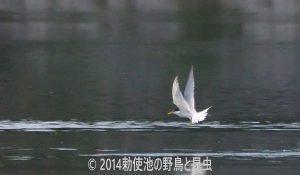 勅使池のコアジサシ170529-1