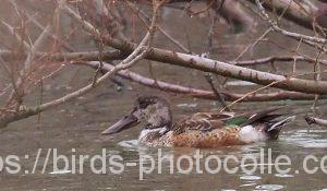 勅使池のハシビロガモ190228