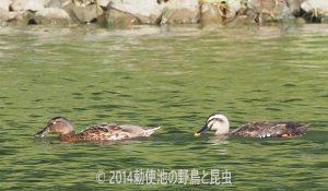 勅使池のカルガモ170918