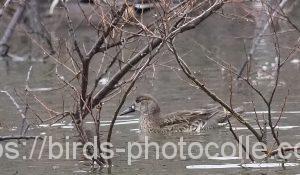 勅使池のトモエガモ200126-2