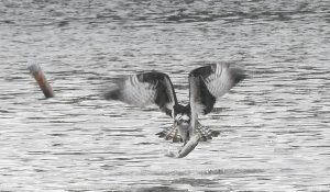 勅使池のミサゴ170110