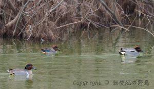 勅使池アメリカコガモ170307-5