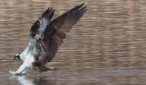 勅使池のミサゴc170122
