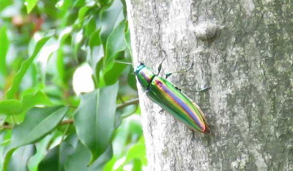 勅使池の昆虫タマムシ