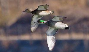 勅使池の野鳥ヨシガモ170212
