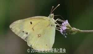 勅使池のモンキチョウ170624