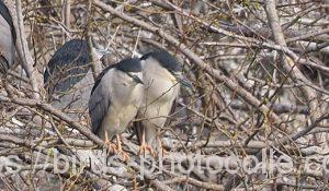 勅使池のゴイサギ190329