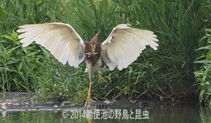 勅使池のアカガシラサギ170730-2