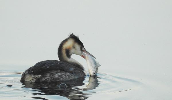 勅使池のカンムリカイツブリ161221