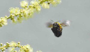 勅使池のクマバチ