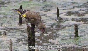 勅使池のカワラヒワ170624