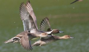勅使池の野鳥オナガガモ170214