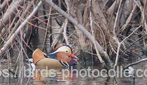 勅使池のオシドリ190211
