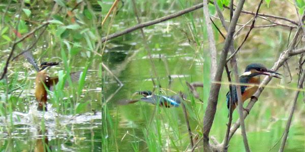 勅使池のカワセミ