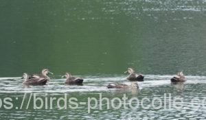 勅使池のカルガモ200730