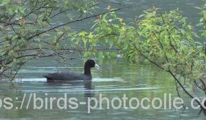 勅使池のオオバン200625
