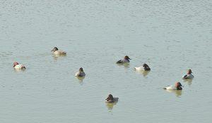 勅使池のホシハジロ161125