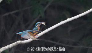勅使池のカワセミ170620