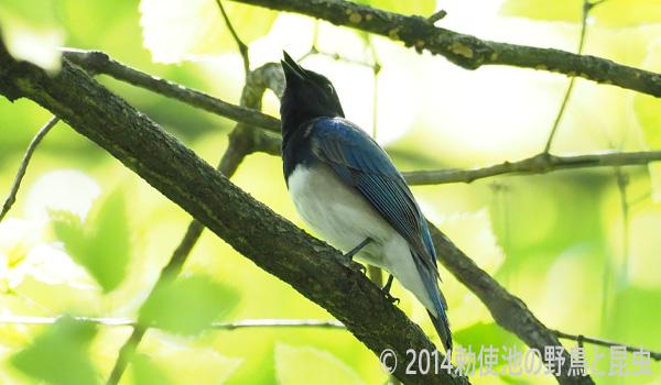 勅使池の野鳥オオルリ170430