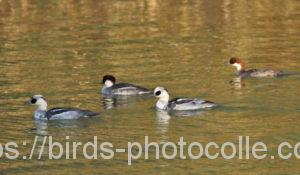 勅使池のミコアイサ201208