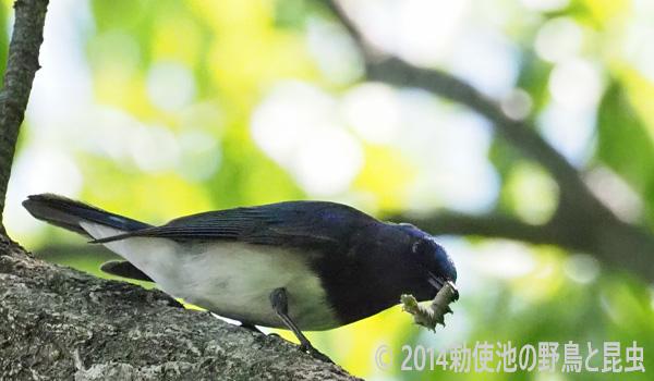 勅使池の野鳥オオルリ170430-1