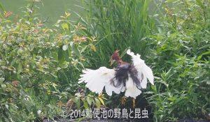 勅使池のアカガシラサギ170729-2