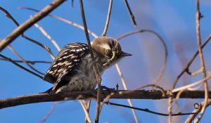 勅使池の野鳥コゲラ170212