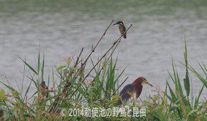 勅使池カワセミ170725
