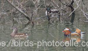 勅使池のオシドリ200331