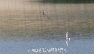 勅使池のコアジサシ170530