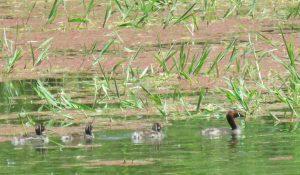 勅使池のカイツブリ