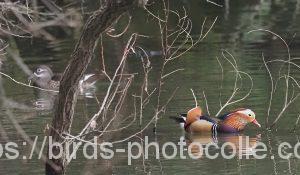 勅使池のオシドリ200304