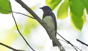 勅使池の野鳥オオルリ170430-2