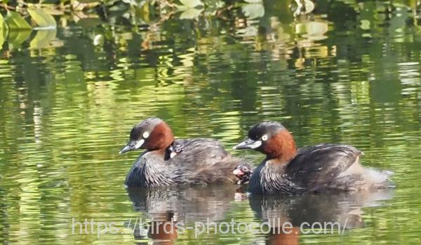 勅使池のカイツブリ200810