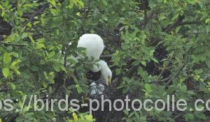 勅使池のチュウサギ200625
